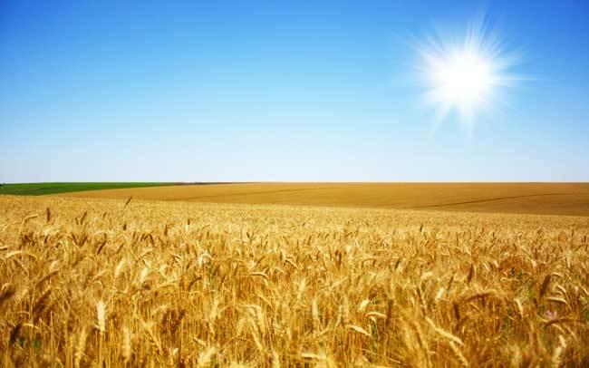 пшеничные поля фото (22)