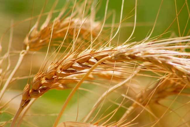 пшеничные поля фото (13)