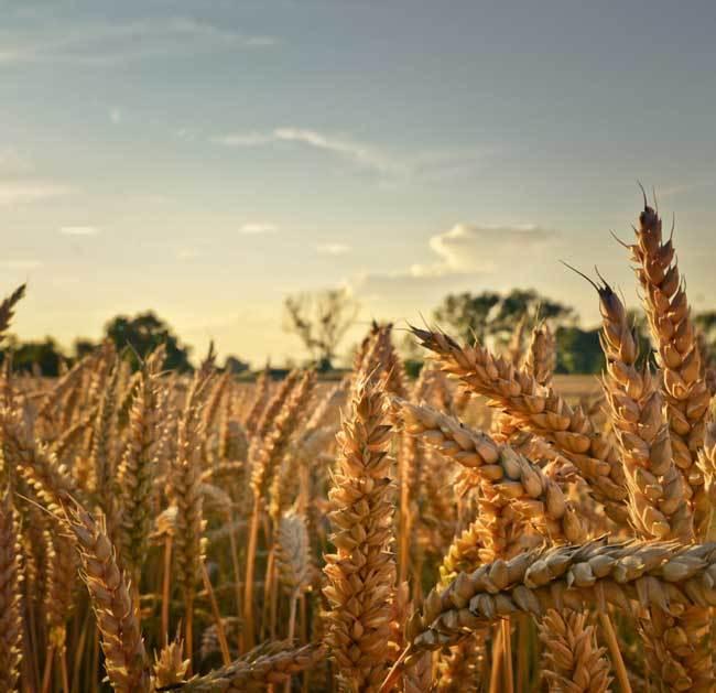 пшеничные поля фото (12)