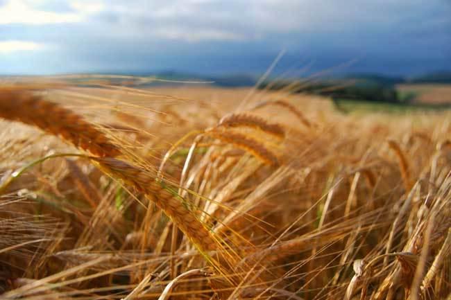 пшеничные поля фото (11)