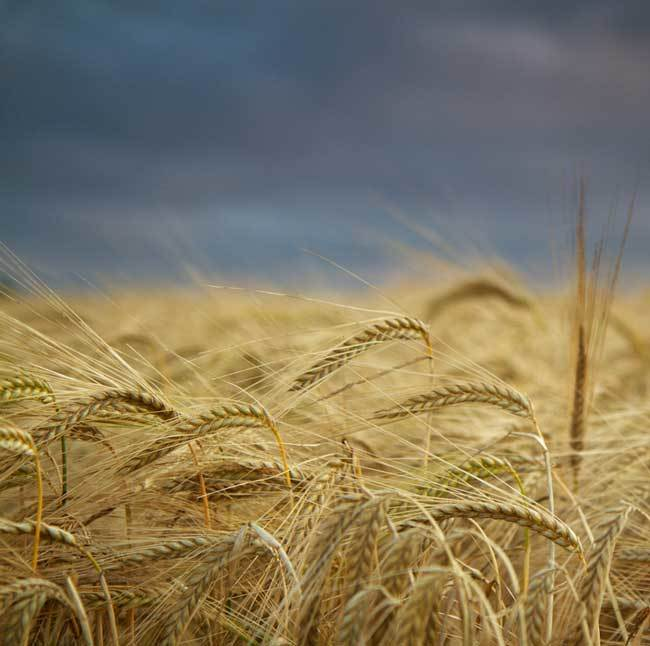 пшеничные поля фото (10)