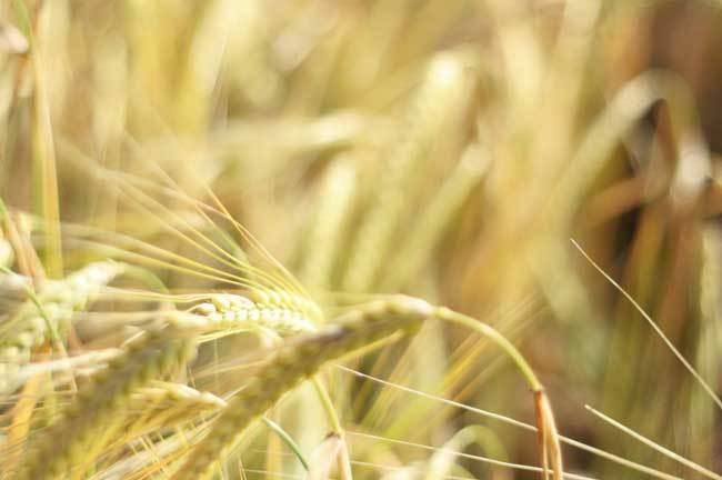 пшеничные поля фото (9)