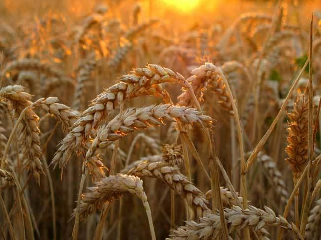 пшеничные поля фото (8)