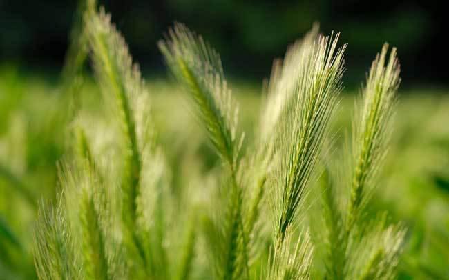пшеничные поля фото (7)