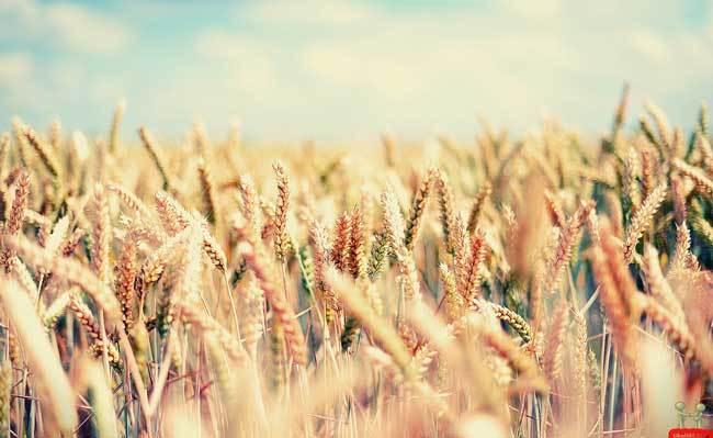 пшеничные поля фото (6)