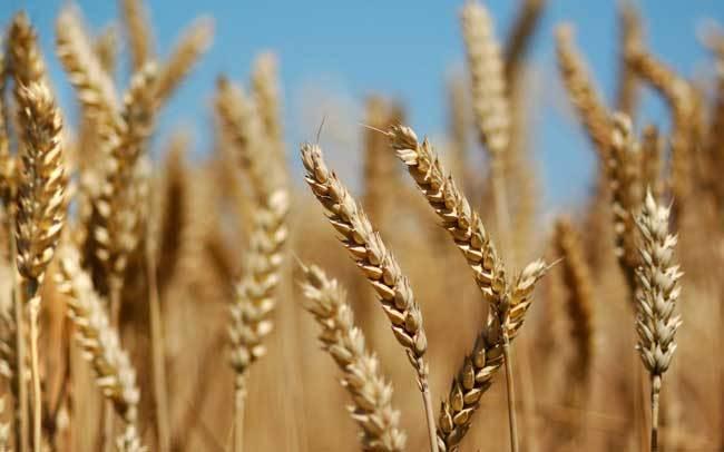 пшеничные поля фото (5)