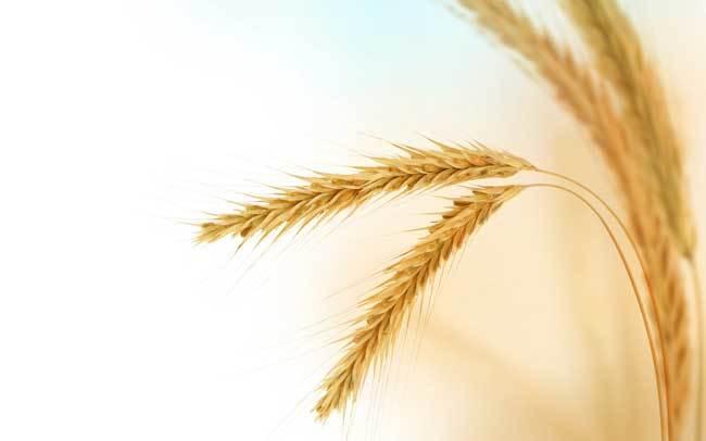 пшеничные поля фото (4)