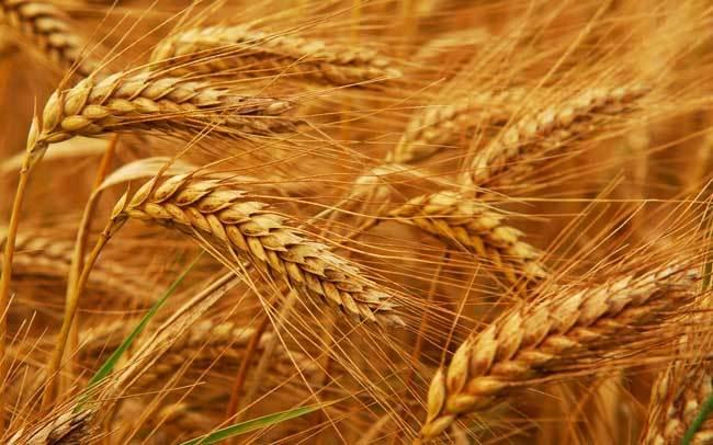 пшеничные поля фото (21)