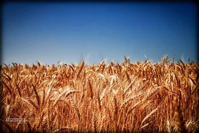 пшеничные поля фото (3)