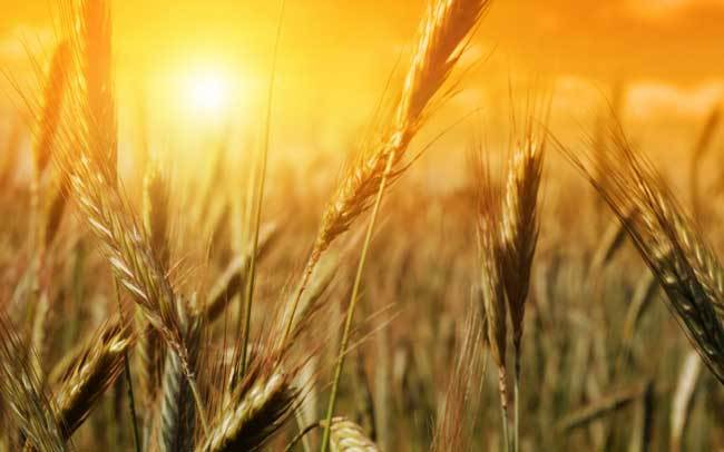 пшеничные поля фото (2)