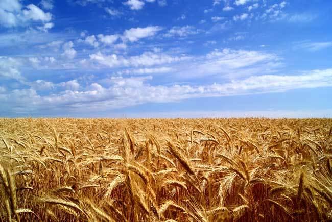 пшеничные поля фото (20)