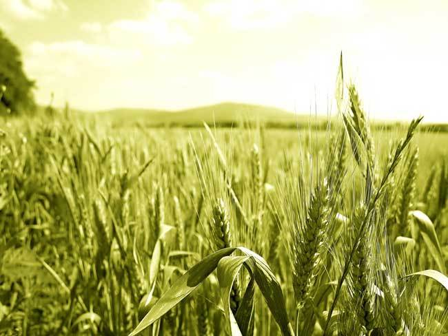 пшеничные поля фото (19)