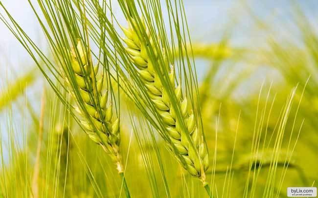 пшеничные поля фото (18)