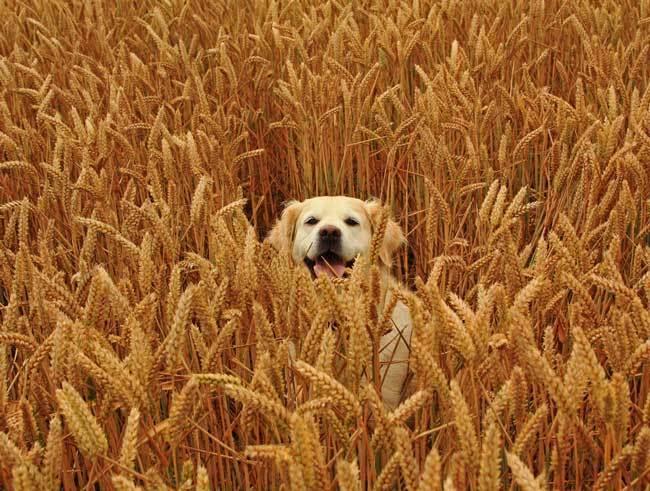 пшеничные поля фото (17)