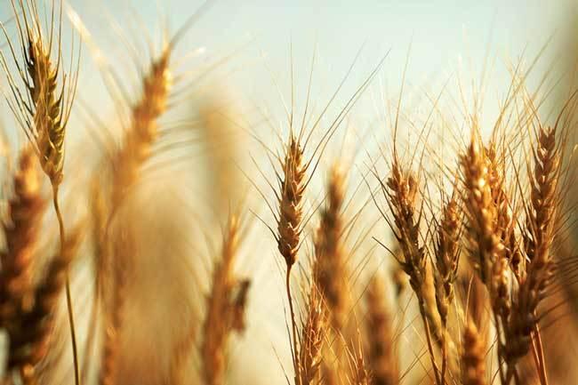 пшеничные поля фото (16)