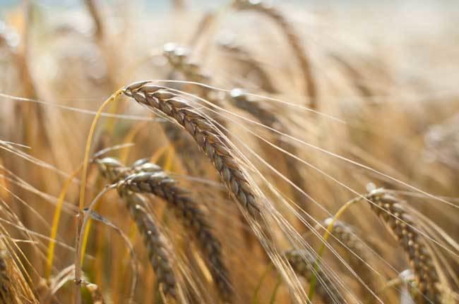 пшеничные поля фото (15)