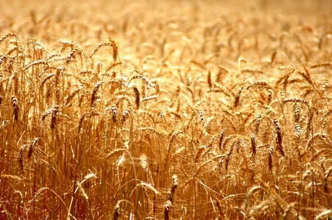 пшеничные поля фото (14)