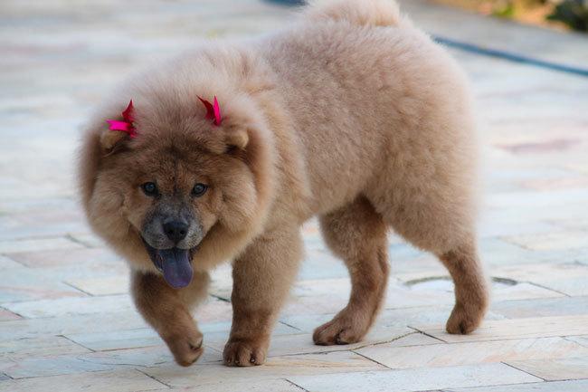фото собаки чау чау (16)