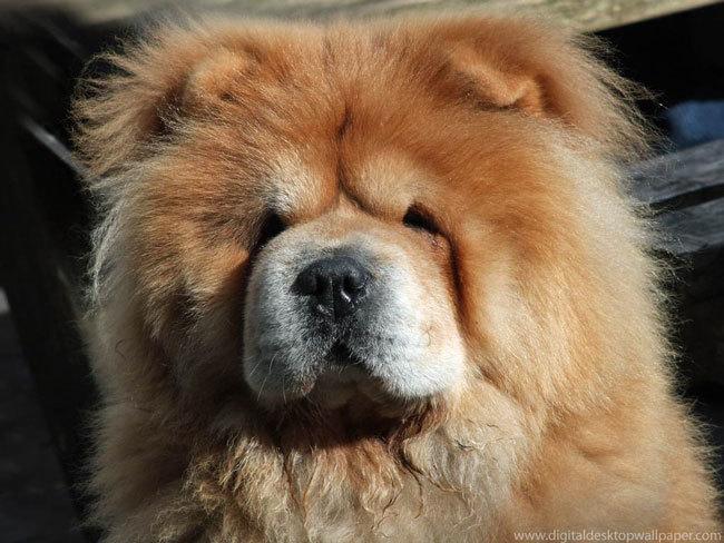 фото собаки чау чау (7)