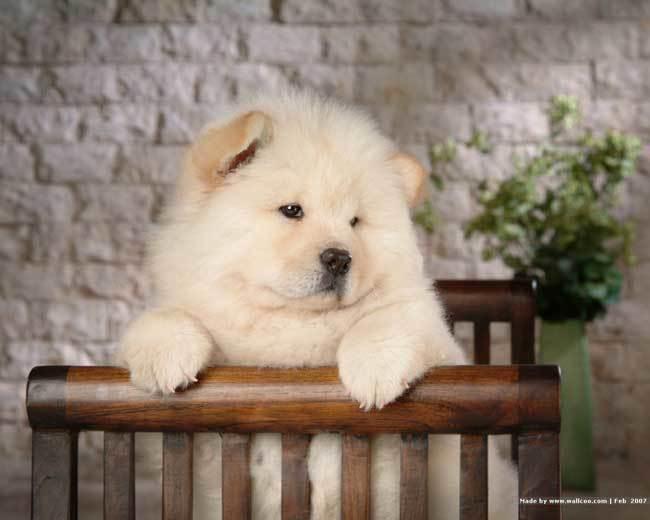 фото собаки чау чау (6)