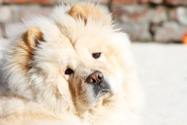 фото собаки чау чау (3)