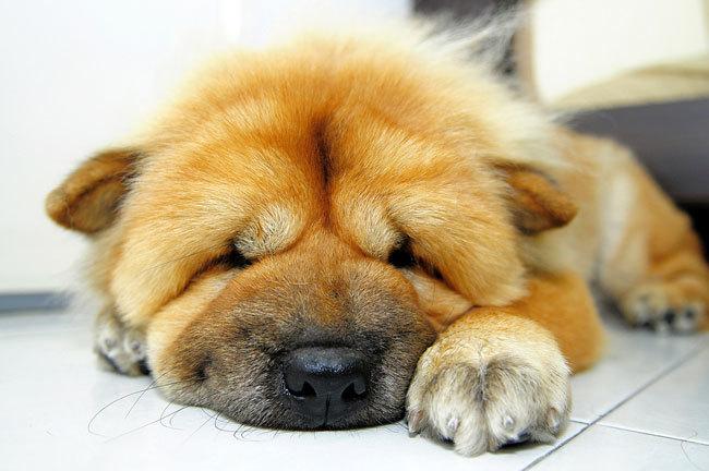 фото собаки чау чау (2)