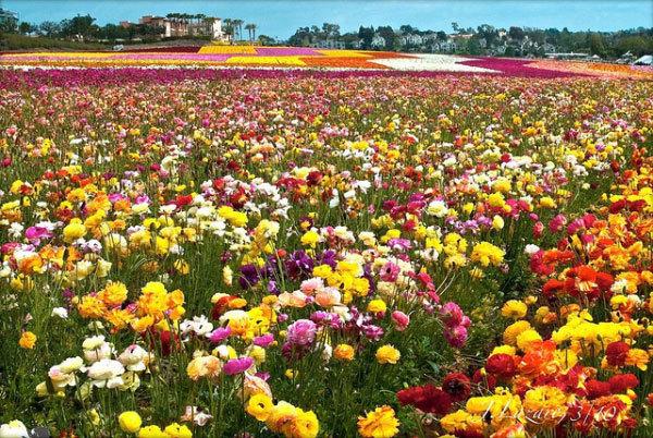 фото цветочных полей (12)