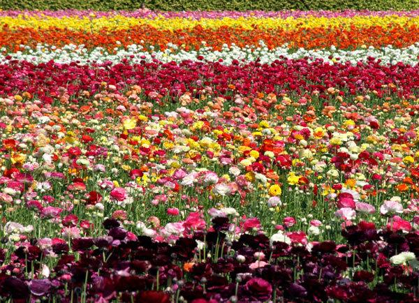 фото цветочных полей (11)