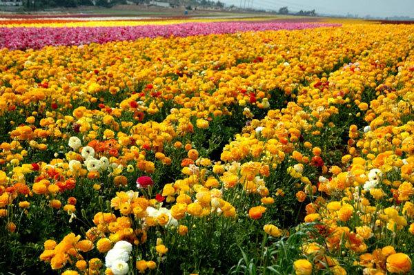 фото цветочных полей (9)