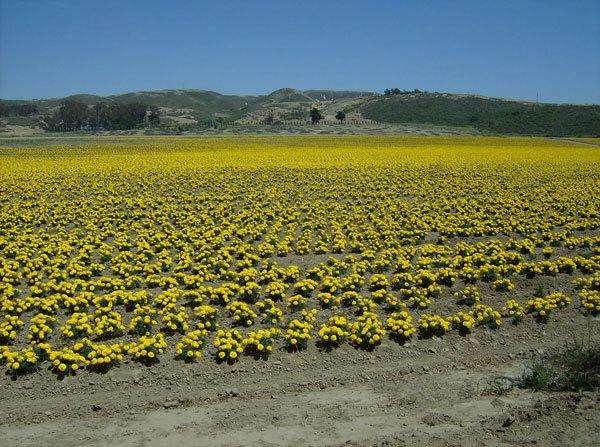 фото цветочных полей (7)