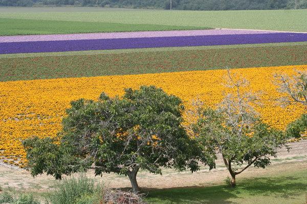 фото цветочных полей (6)