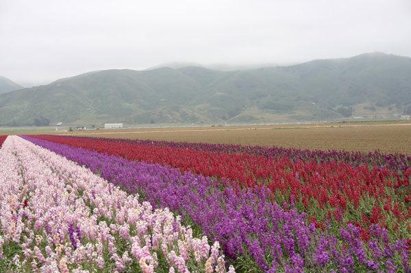 фото цветочных полей (5)