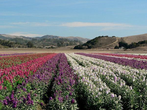 фото цветочных полей (20)