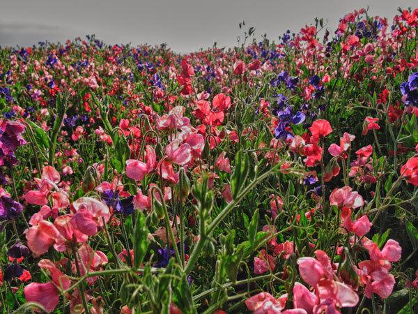фото цветочных полей (4)