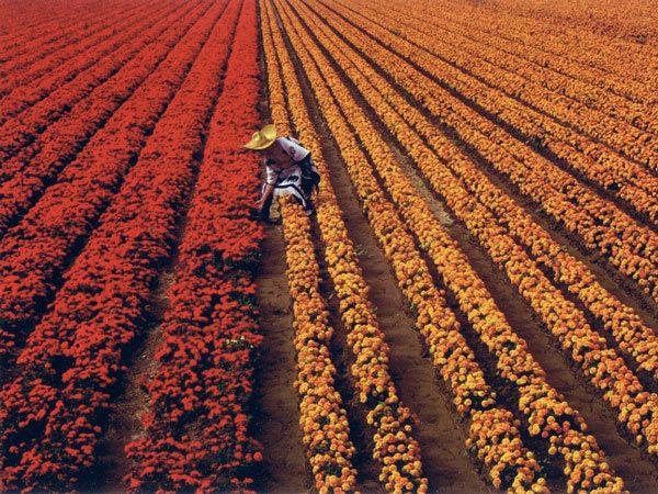 фото цветочных полей (3)