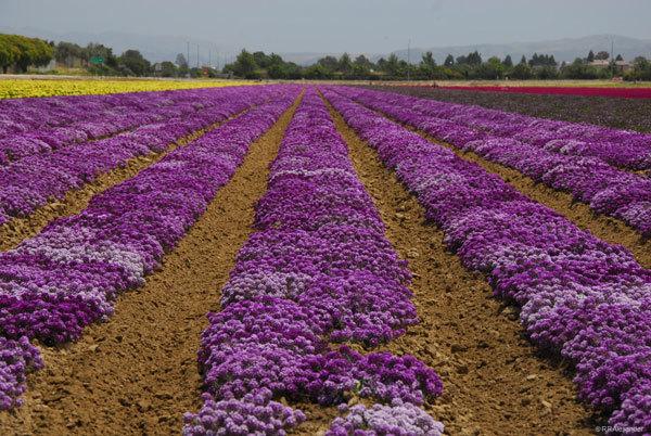 фото цветочных полей (2)