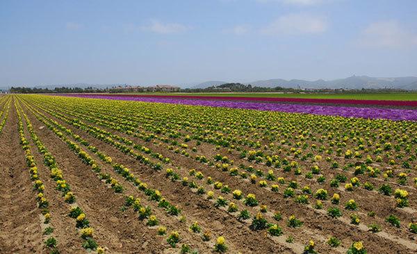 фото цветочных полей (1)