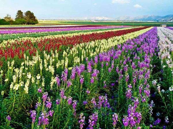 фото цветочных полей (18)