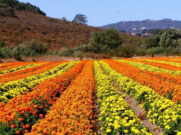 фото цветочных полей (16)