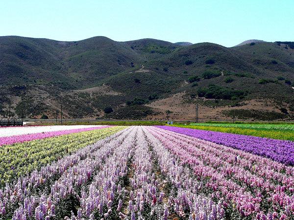 фото цветочных полей (15)