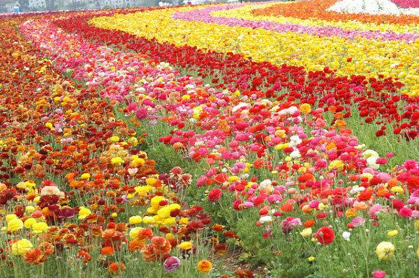 фото цветочных полей (14)