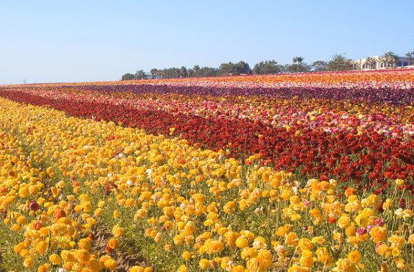 фото цветочных полей (13)